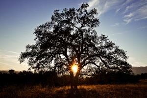Ojai Valley Oak Sunset