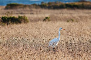 White Heron at San Simeon