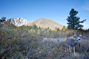 Mule Deer at Convict Creek