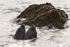 Young Male California Sea Lions