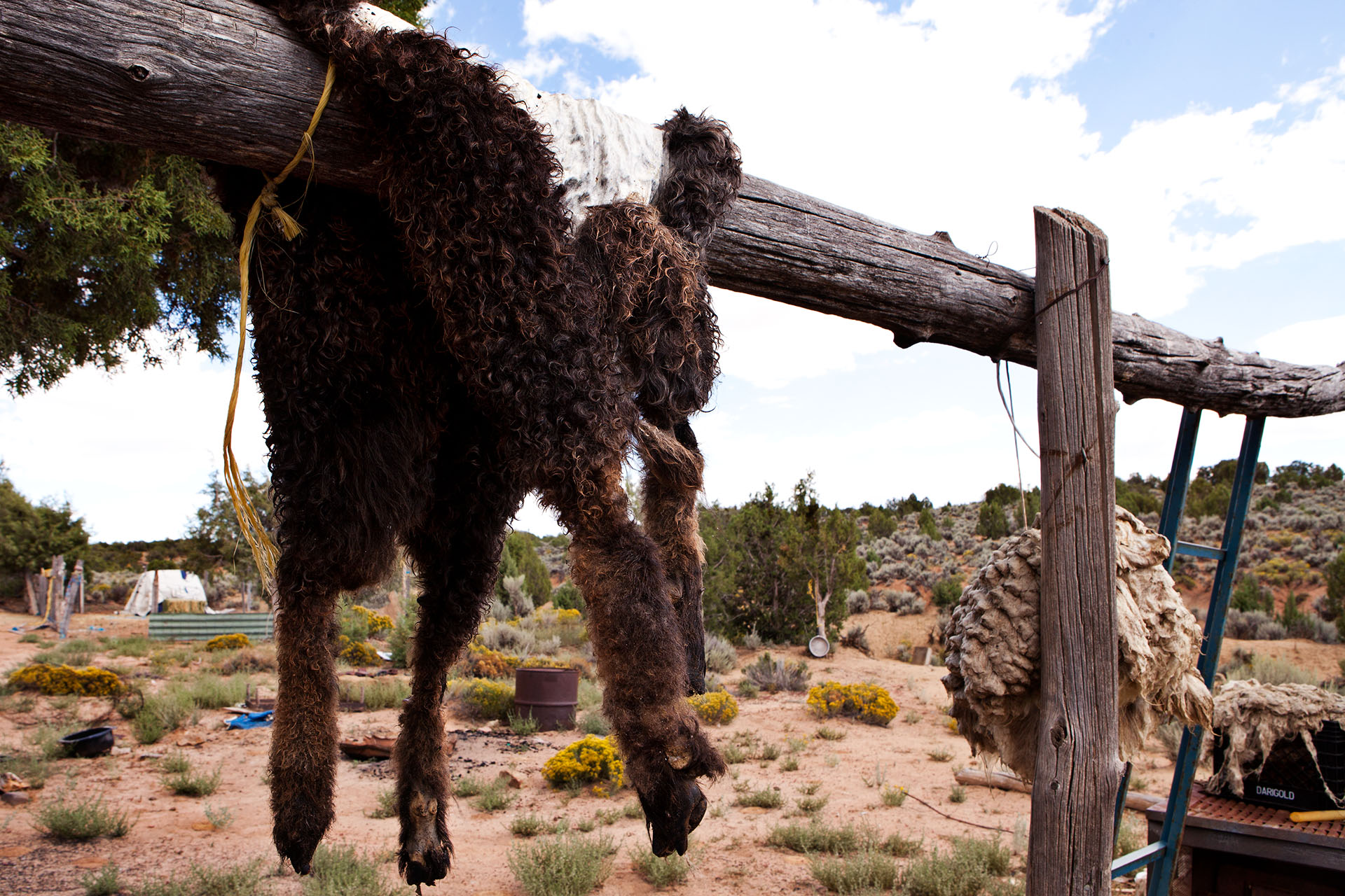 Navajo Native Americans living the pastoral way of life use all of the sheep for survival.