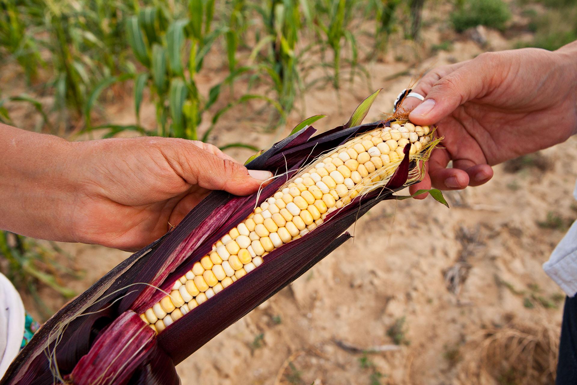Black Husk Native American Corn