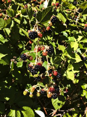 Blackberries_0002.jpg