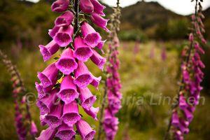 Pink Patagonia Foxglove