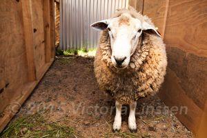 Achao Sheep