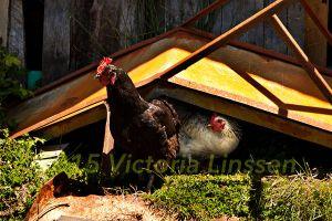 Chiloe Chickens