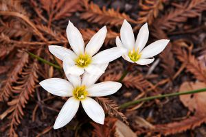 Bloodroot Flowers in Redwood Needles