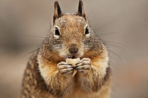 Greedy Ground Squirrel