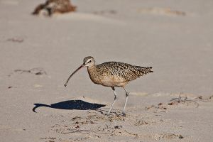 Long-Billed Curlew Gets Its Crab.