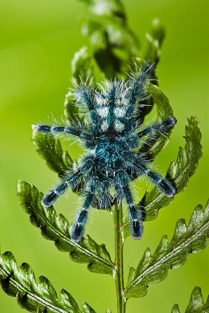 Antilles Island Pinktoe Spider