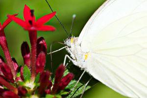 Buttefly Nectar