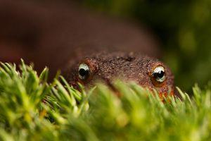 Peeking Newt