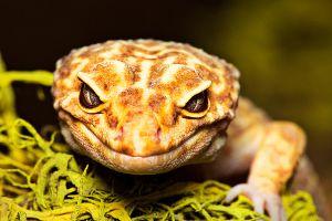 Mischievous Leopard Gecko
