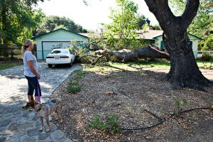 Scorching heat and drought kills protected oak trees